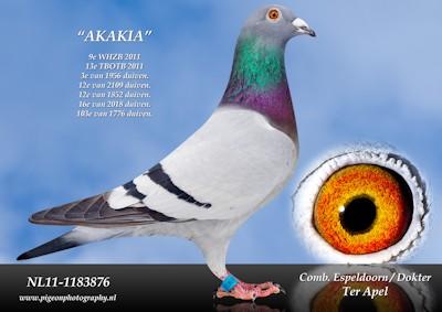 11-876-akakia-ico